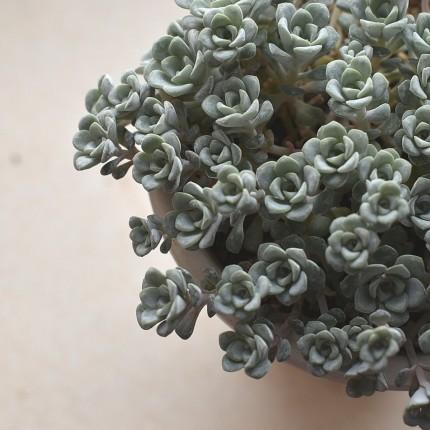 白雪ミセバヤ,植物,APOA,三重,四日市